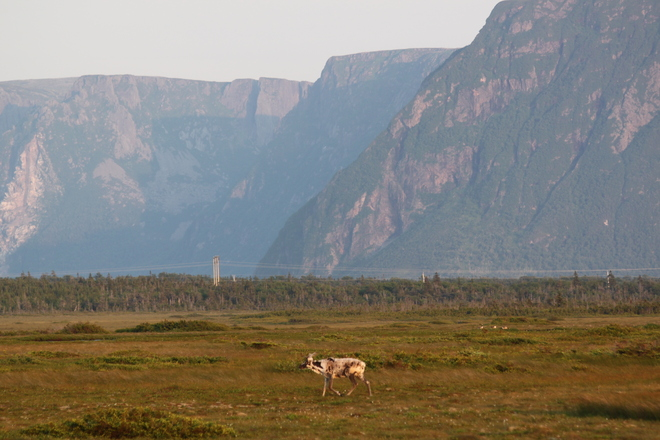 Caribou in Gros Morne Deer Lake, Newfoundland and Labrador Canada