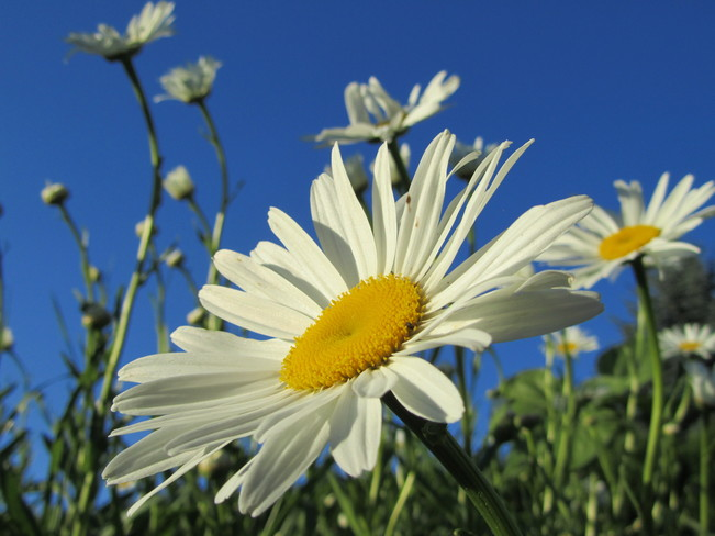 Daisies and deep blue sky Vernon, British Columbia Canada