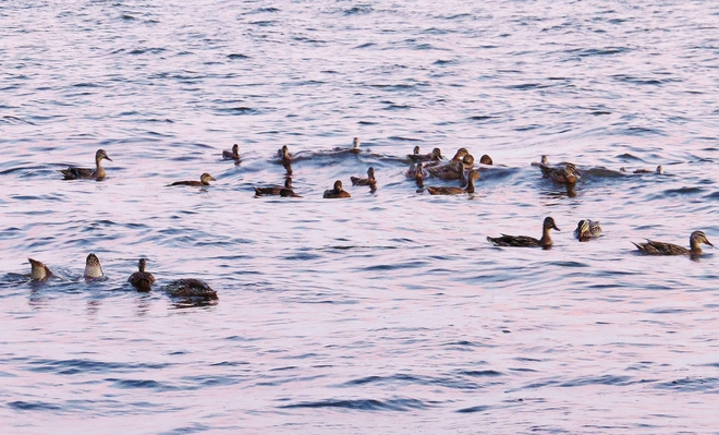 Unlimited ducks tonight, it seems! North Bay, Ontario Canada