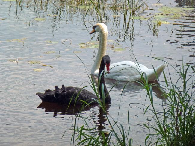 Black and white swan couple Ottawa, Ontario Canada
