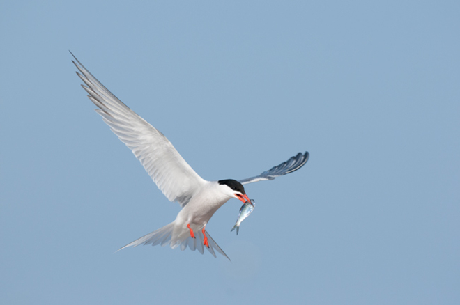 Common Tern with dinner Cobourg, Ontario Canada