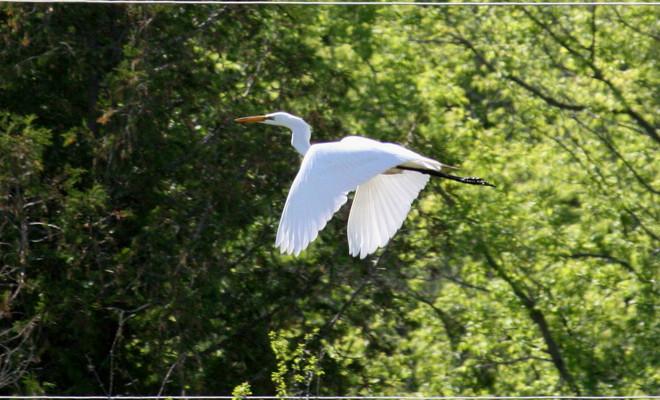 beautiful egret Brighton, Ontario Canada