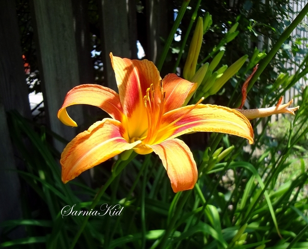 Beautiful Ditch Lily London, Ontario Canada