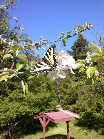 Butterfly in the apple tree Paradise, Newfoundland and Labrador Canada