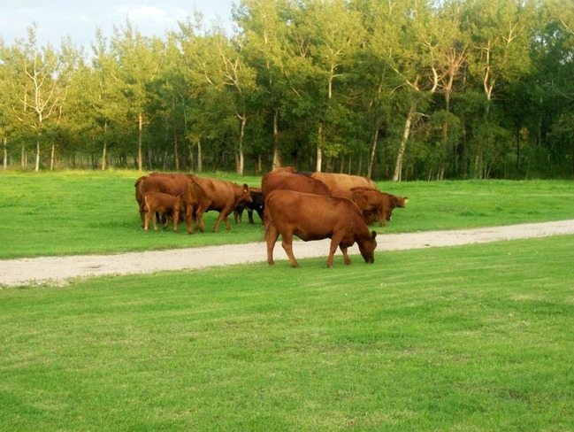 Evening walk with the cows Neepawa, Manitoba Canada