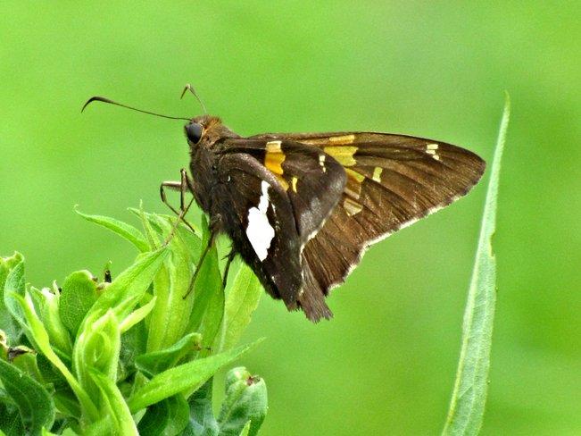 Moth Sarnia, Ontario Canada