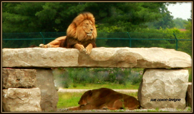 The King of the Jungle Cambridge, Ontario Canada