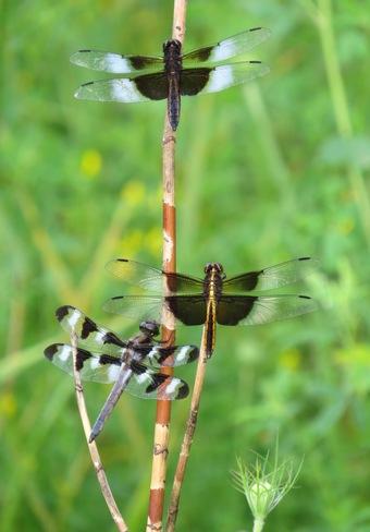 Dragonfly tree Ottawa, Ontario Canada
