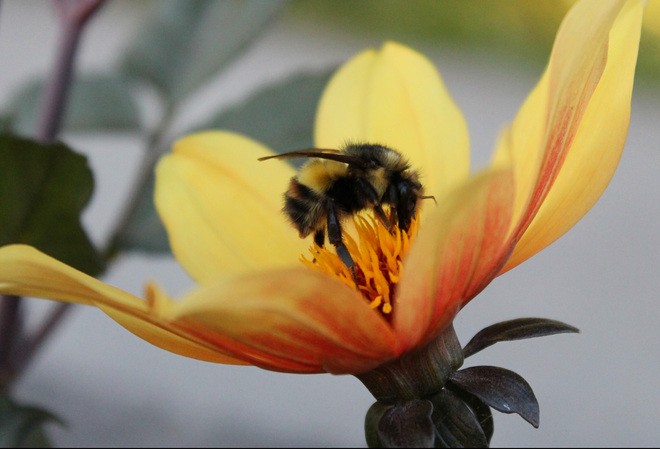 BUMBLE BEE Vancouver, British Columbia Canada