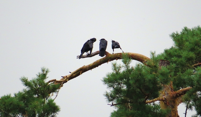 Crow family on their favorite perch. North Bay, Ontario Canada