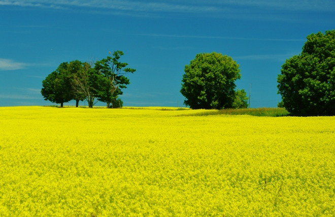 canola filds Whitby, Ontario Canada