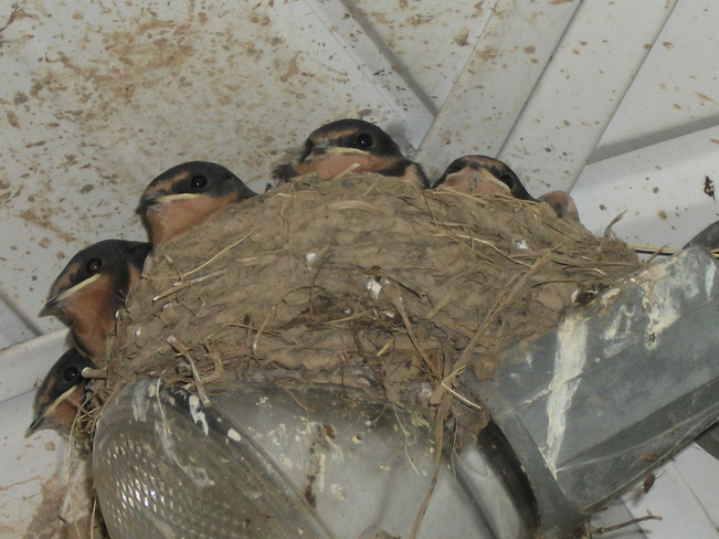 5 Baby Barn Swallows Ready to Fly Dunnville, Ontario Canada