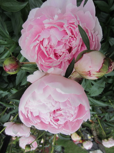 "Peonies, ""pretty in pink """