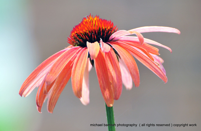 Colourful Coneflower Whitby, Ontario Canada