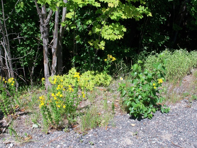 Flowers by the wayside Elliot Lake, Ontario Canada