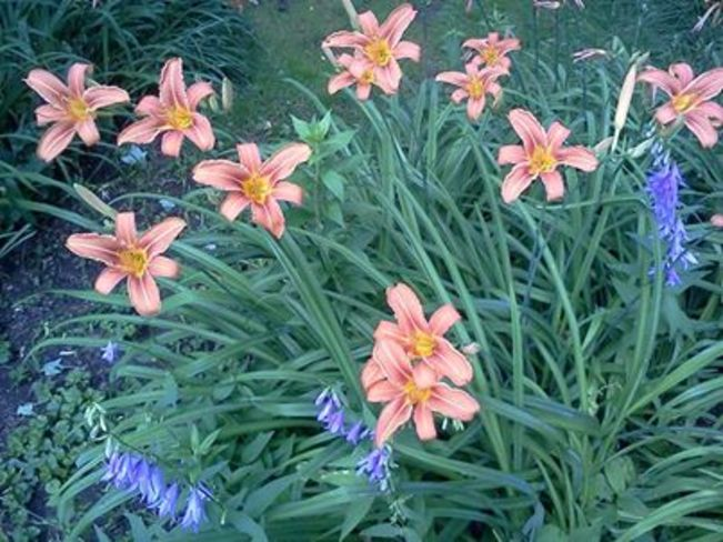 Flowers from my garden Middleton, Nova Scotia Canada