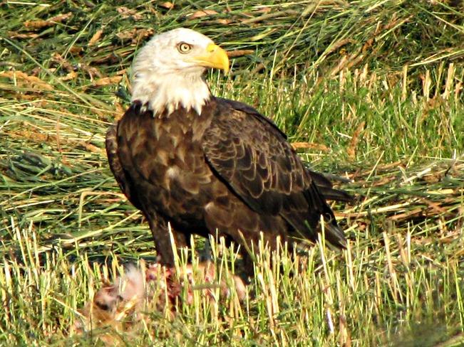 Eagles Bryson, Quebec Canada