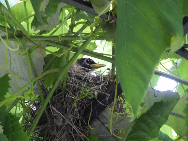 Robin in the nest Brossard, Quebec Canada