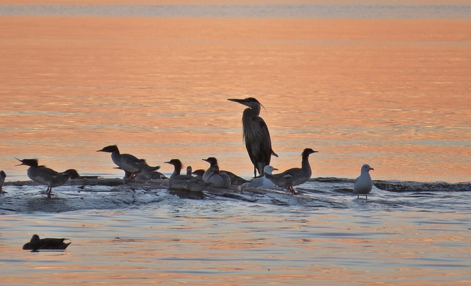 Blue Heron joined by ducks & gulls. North Bay, Ontario Canada