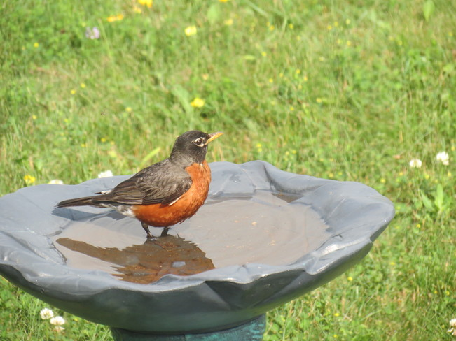 Robin Cooling Off Lindsay, Ontario Canada