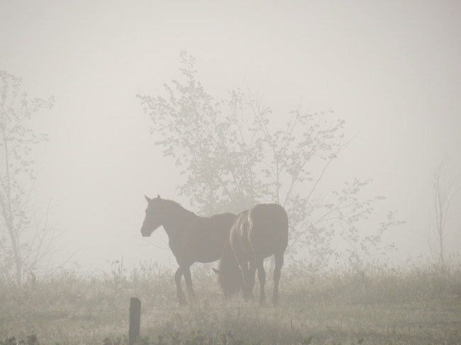 Horses in the morning fog Lindsay, Ontario Canada