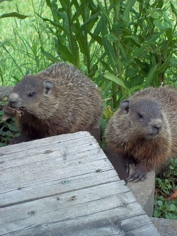 Baby groundhogs St. Marys, Ontario Canada
