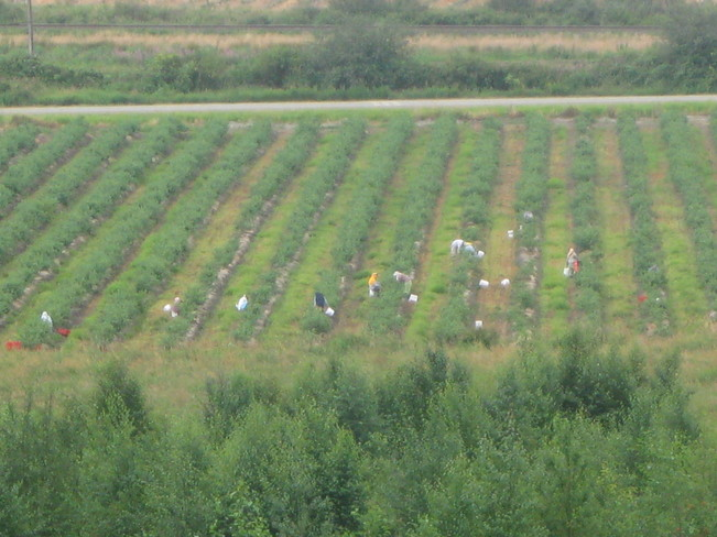blueberry picking season is here Surrey, British Columbia Canada
