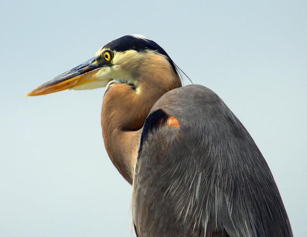 Great Blue Heron Scarborough, Ontario Canada