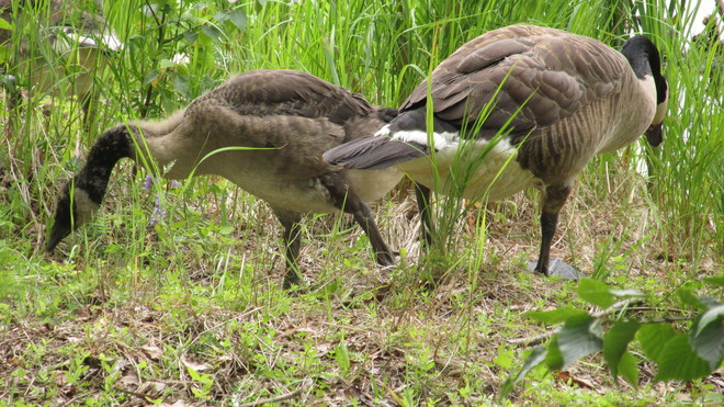 Canada Geese Feeding on Grasses Sackville, New Brunswick Canada