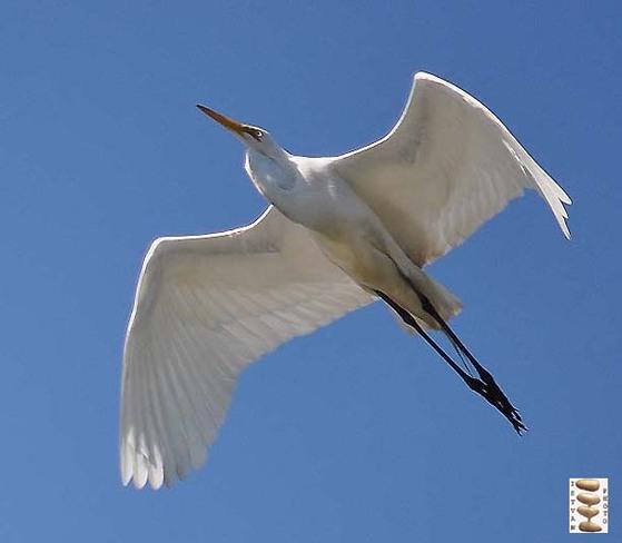 White Heron Toronto, Ontario Canada
