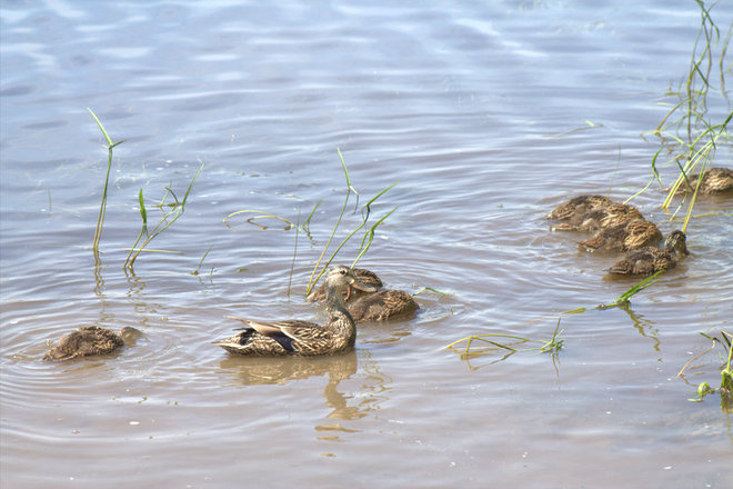 """mom watching while chicks dip for food"" Timmins, Ontario Canada"