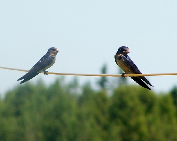 birds on a wire Sackville (not available), New Brunswick Canada