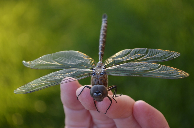 Dragonfly Visit Fort McMurray, Alberta Canada