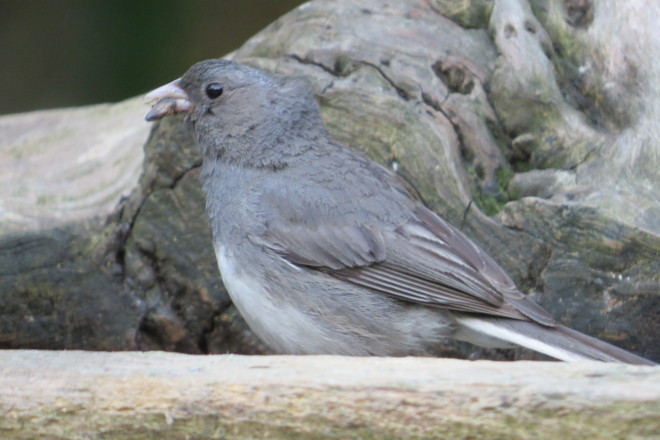 Dark-eyed Junco (Junco hyemalis) Moulting * For Kelly* Chester, Nova Scotia Canada