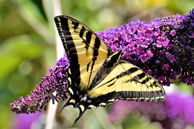 Swallowtail Butterfly Vancouver, British Columbia Canada