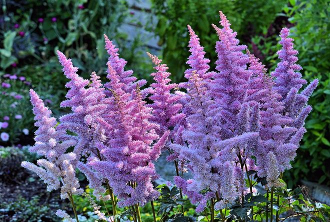 Astilbe Flowers Vancouver, British Columbia Canada