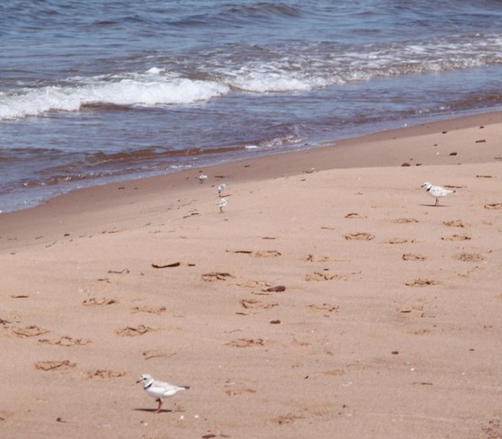 Piping Plover Chicks Mount Stewart, Prince Edward Island Canada