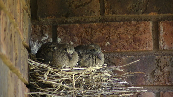 Baby Mourning Doves Fenelon Falls, Ontario Canada