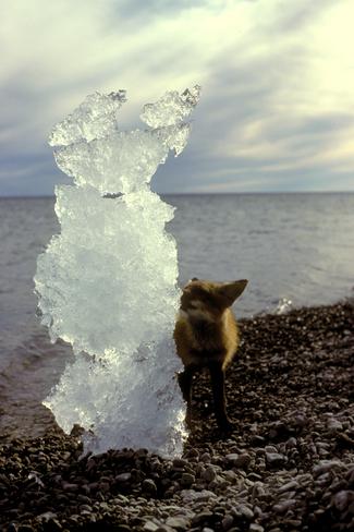 Curious Arctic Fox Nepean, Ontario Canada