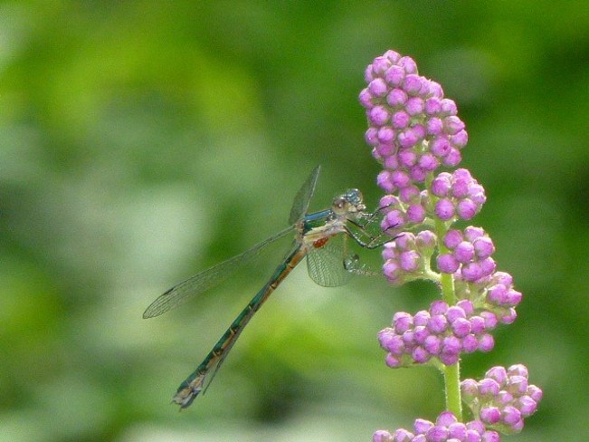 dragonfly Enderby, British Columbia Canada