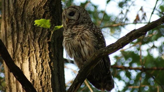 Barred Owl Washago, Ontario Canada