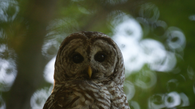 Up Close with the Barred Owl Washago, Ontario Canada