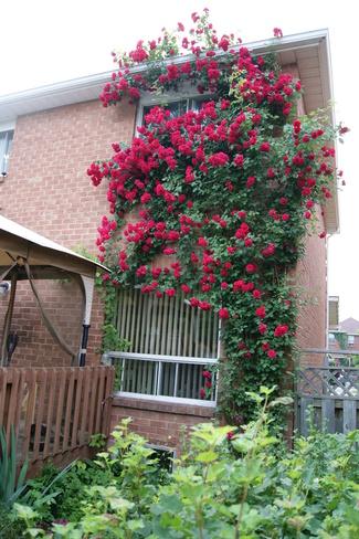 Roses Mississauga, Ontario Canada