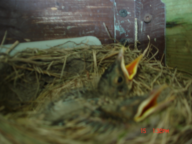 Nine day old Baby Robin's Cochrane, Ontario Canada