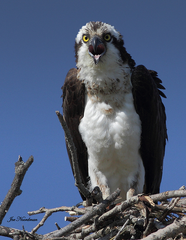 Guarding her nest. Roseneath, Ontario Canada