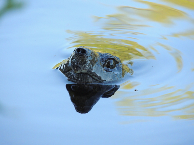 Snapping Turtle Port Loring, Ontario Canada