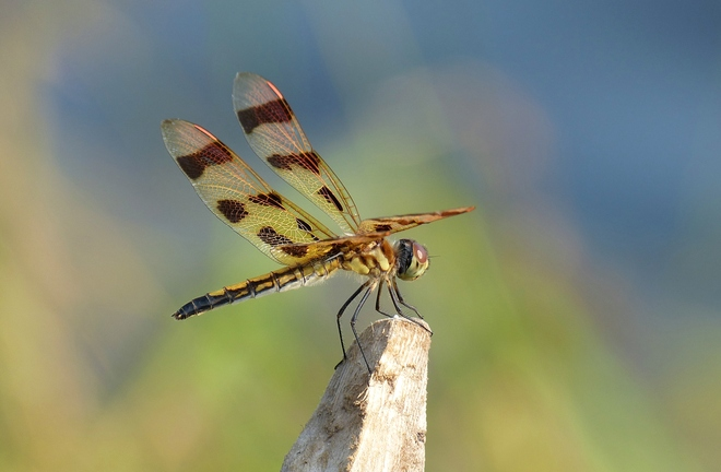 Dragonfly at Murphys Point Smiths Falls, Ontario Canada