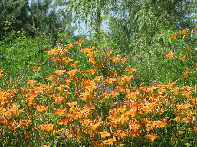Grove of Beautiful Tiger Lilies