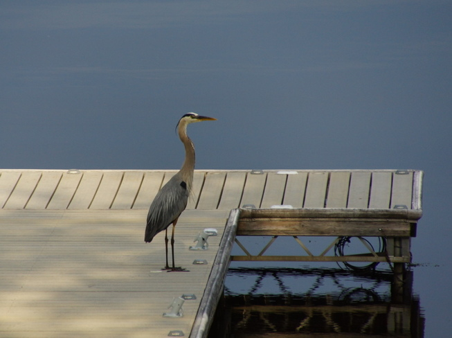 Great Blue Heron Patrolling the dock Havelock, Ontario Canada