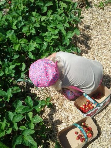 Strawberry Picking Lindsay, Ontario Canada